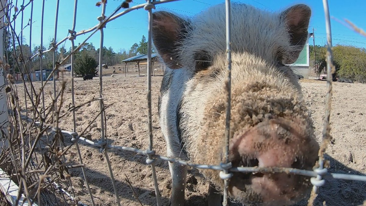 In the last year, the farm has adopted 75 of the rescued pigs. It still has about 100 it is...