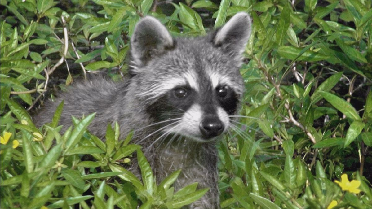 Officials are expected to trap and relocate the raccoons.