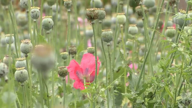 Charges dropped after massive poppy field bust in Catawba County in 2017