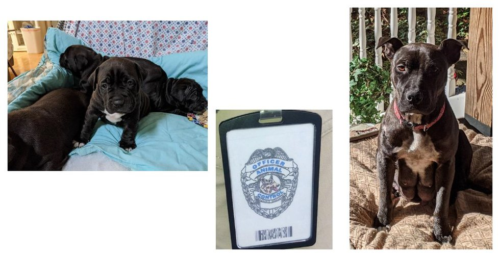 Picture of the dogs stolen as well as credentials authorities said the suspects used.