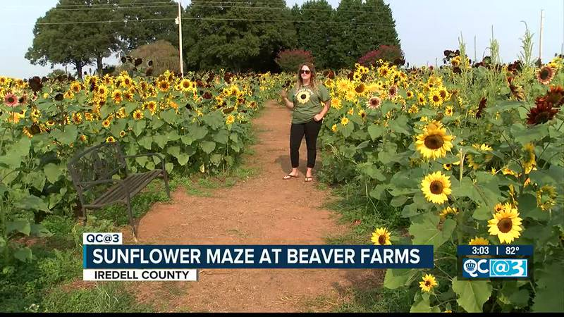 Get lost in a sunflower maze this weekend.