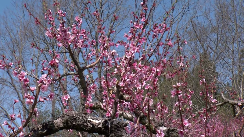 Temperatures dipped below freezing early Friday morning in the apple, peach and pear orchards...