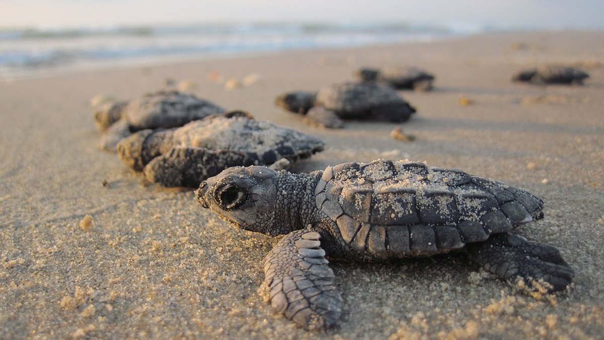 Concern about success of upcoming sea turtle nesting season