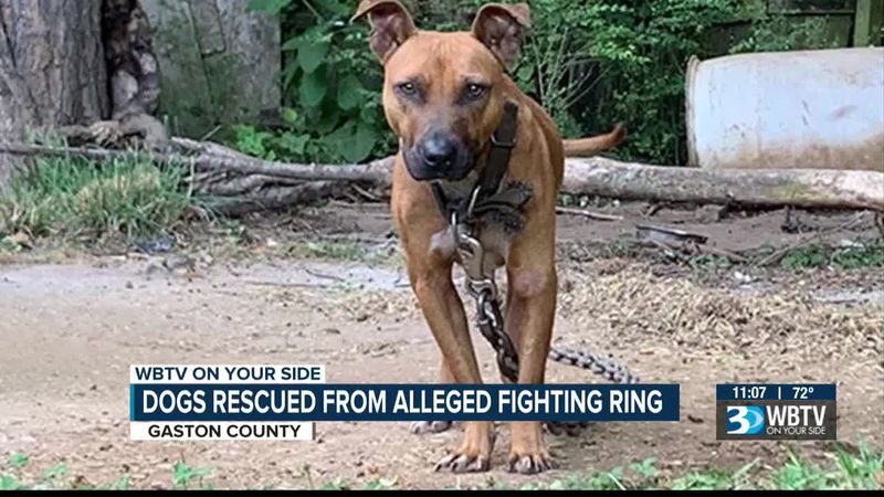 Dogs rescued from alleged fighting ring